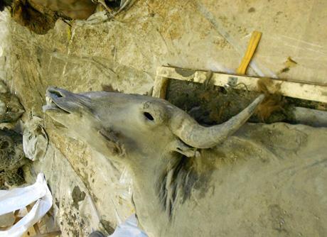 Cabeza de bisonte. Foto: UAL.