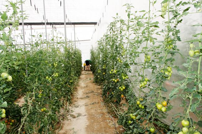 invernadero-tomates