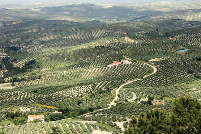 Jaén es un 'mar de olivos'.