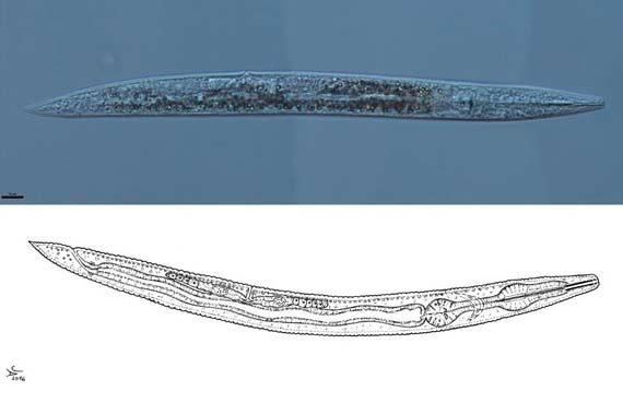 Vista al microscopio e ilustración del nuevo gusano.