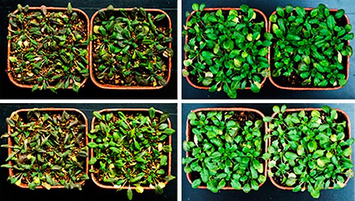 Diferencia entre las plantas modificadas y las que no.