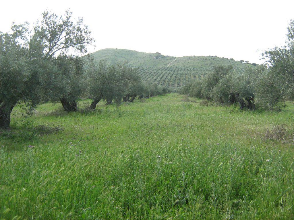 Olivares con suelo herbáceo.