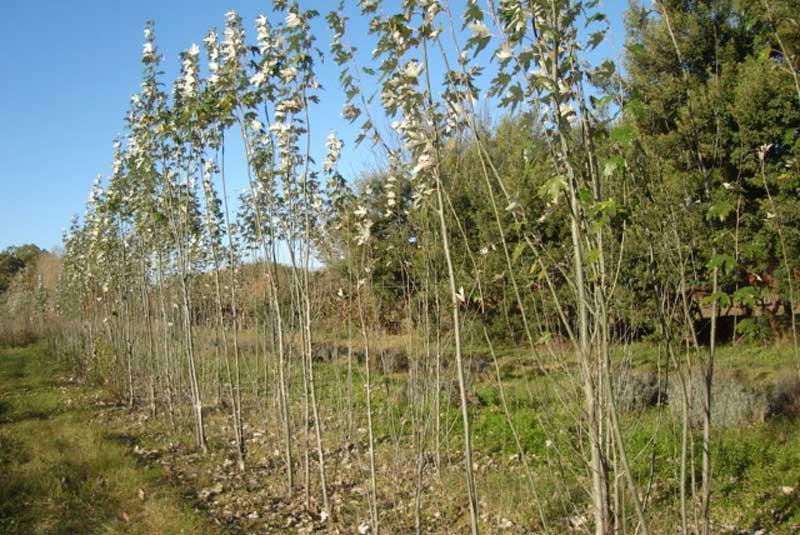 Plantación de álamos.
