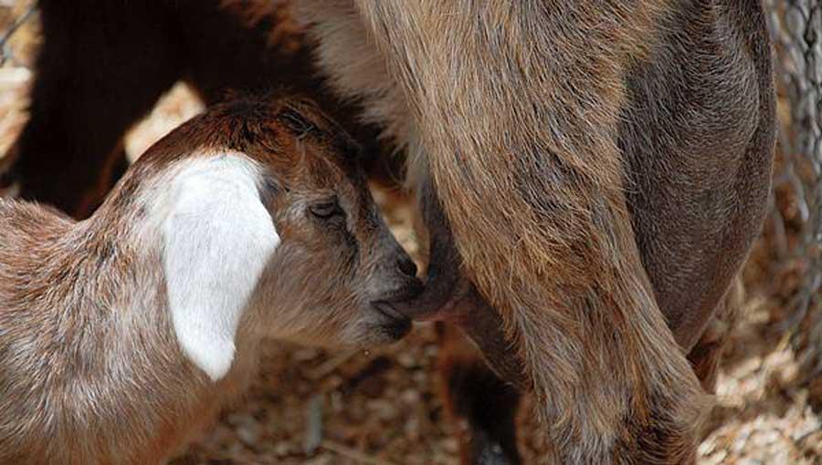 Crianza natural, junto a la madre, de una cabra. / CSIC