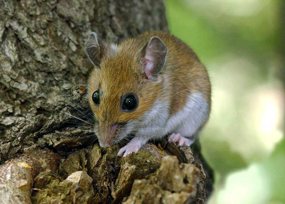 Ratón silvestre. Foto:  Jim Schulz