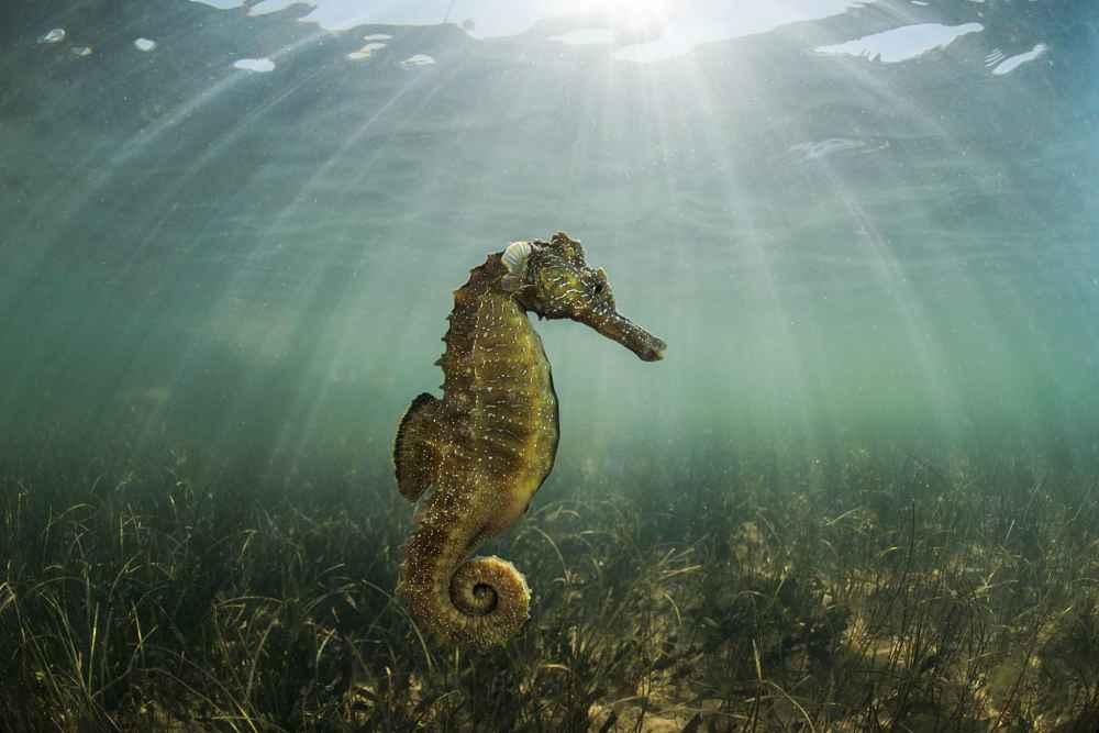 caballito de mar en el mar menor