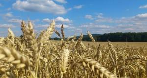 Campo de cereal.