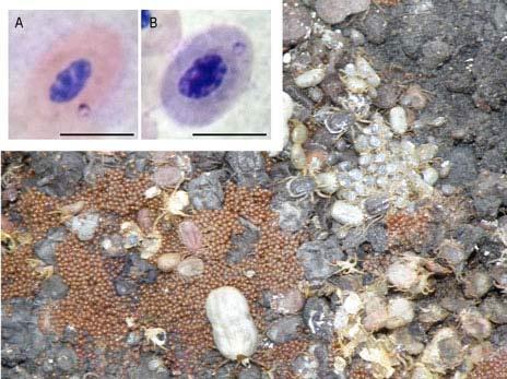 El parásito sanguíneo Babesia visto al microscopio y las garrapatas, Ixodes uriae, que lo transmiten.