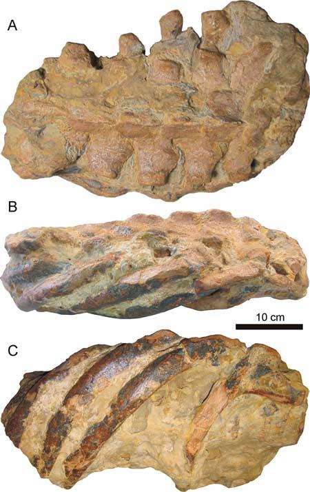 fosiles-ballena-uja