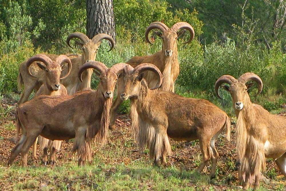 Un grupo de arruís en Sierra Espuña.