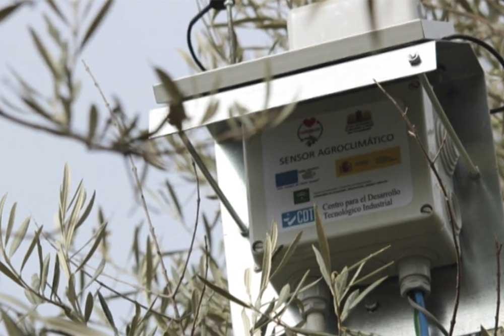 Sensor instalado en el olivo para controlar la evolución del fruto.