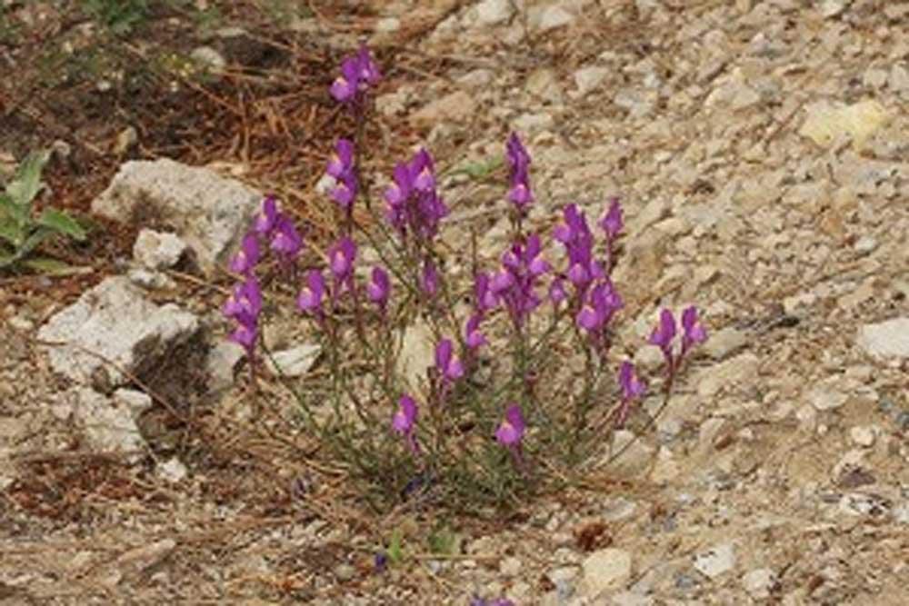 La nueva especie Linaria becerrae tiene flores con espolón largo y recto.