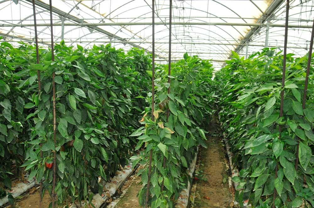 Cultivo de pimiento en un invernadero.