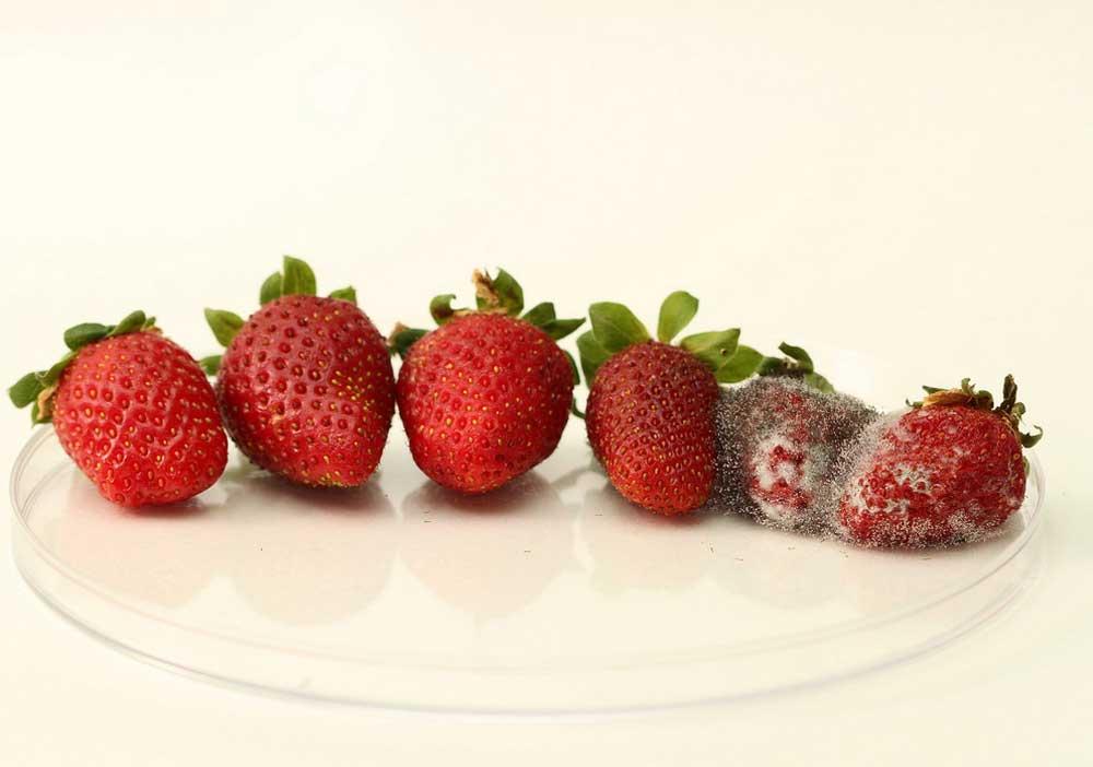 Los tres frutos de la derecha son convencionales tras tres días de almacenaje a 25ºC. Los tres de la izquierda son frutos con el gen modificado.