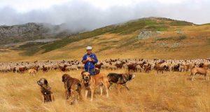 Los mastines son muy apreciados por los pastores.