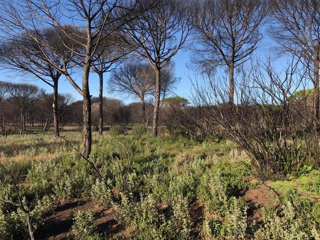 Reforestación natural en Doñana y regeneración con especies autóctonas.