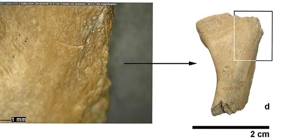 hueso de mamífero con marcas de corte hechas por homínidos