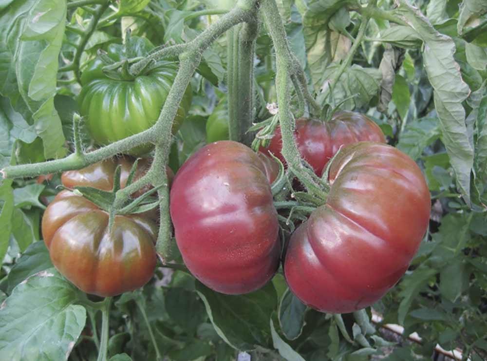 Tomate rosa mejorado en invernadero