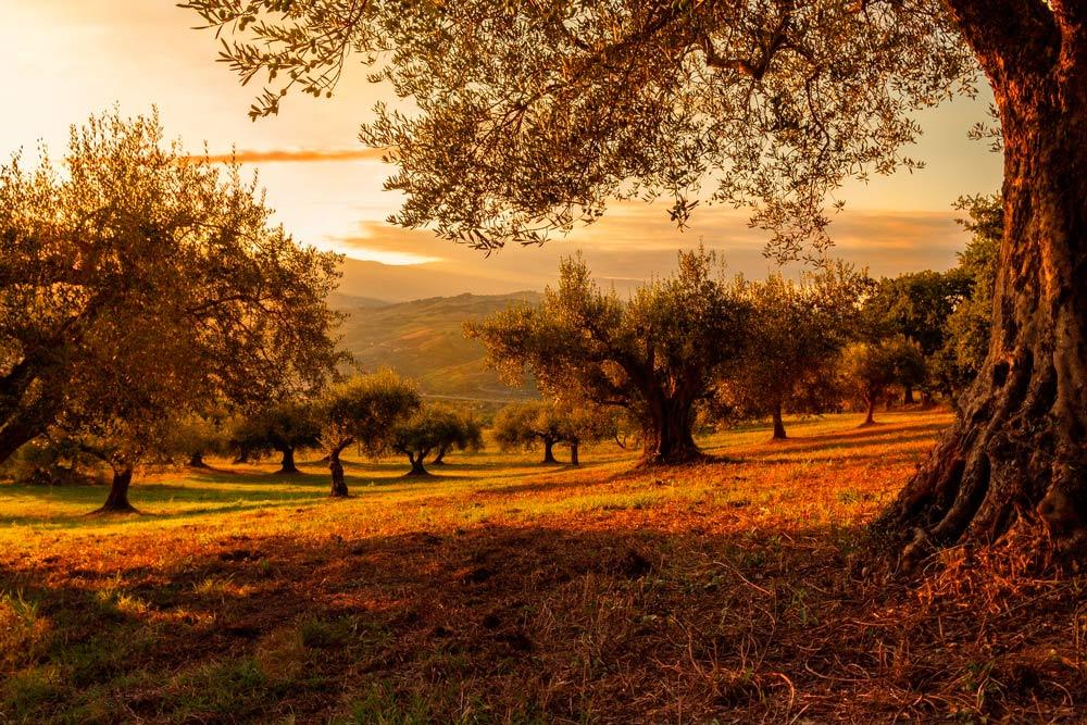el polen de olivo es uno de los más abundantes